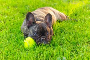 cute domestic dog brindle French Bulldog breedの写真素材 [FYI00755459]