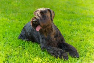 Domestic dog Black Giant Schnauzer breedの写真素材 [FYI00755460]