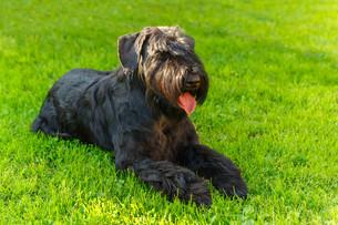 Domestic dog Black Giant Schnauzer breedの写真素材 [FYI00755465]