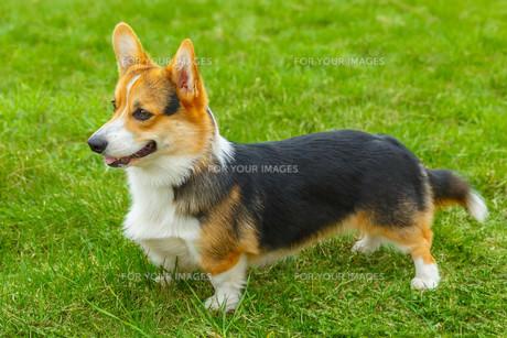 dog Pembroke Welsh corgi smilingの写真素材 [FYI00755466]