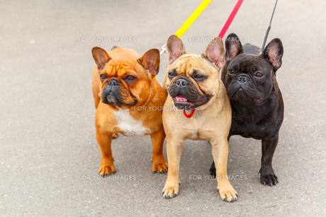 three domestic dogs French Bulldog breedの写真素材 [FYI00755468]