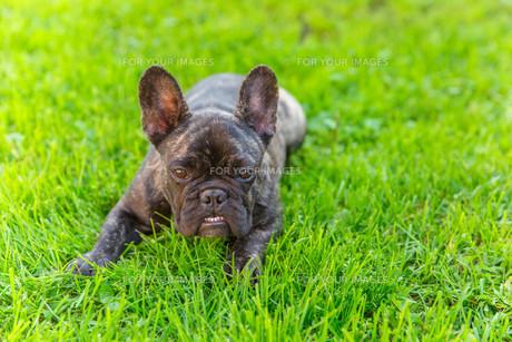 cute domestic dog brindle French Bulldog breedの写真素材 [FYI00755475]