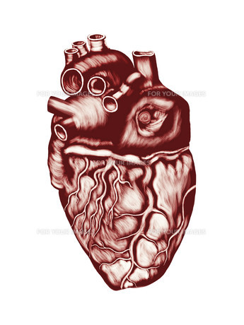Human Heart Anatomy: chambers, valves and vessels, isolated over white.の写真素材 [FYI00755597]