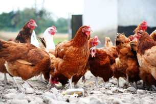 Chickens on traditional free range poultry farmの写真素材 [FYI00755599]