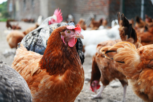 Chickens on traditional free range poultry farmの写真素材 [FYI00755615]