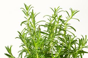 Fresh rosemary sprigsの写真素材 [FYI00756846]