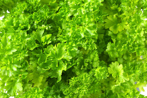 Fresh parsleyの写真素材 [FYI00756847]