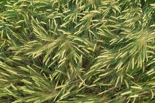 grass_fieldsの写真素材 [FYI00757419]