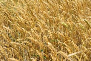 grass_fieldsの写真素材 [FYI00757443]