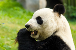 Panda eating bamboo in forestの写真素材 [FYI00757470]
