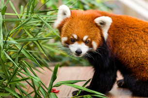 Red pandaの素材 [FYI00757474]