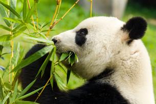 Panda bear eating bambooの写真素材 [FYI00757477]