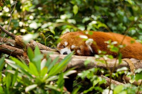 Sleepy Red Pandaの素材 [FYI00757478]