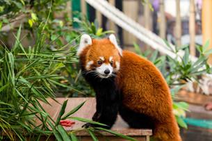 Red panda bearの写真素材 [FYI00757479]