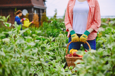 Farmer with harvestの写真素材 [FYI00757664]