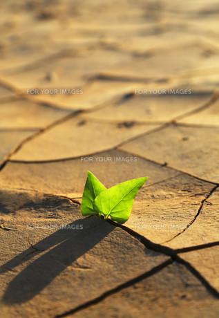 Plant growing through dry cracked soilの写真素材 [FYI00759481]
