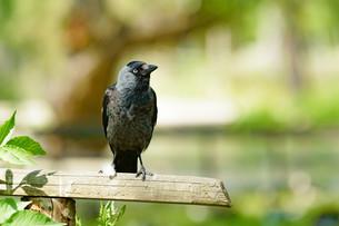 Western jackdaw (Corvus monedula)の写真素材 [FYI00760617]