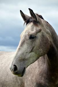 arab horse,grayの写真素材 [FYI00760690]