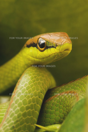 Snakeの写真素材 [FYI00761112]