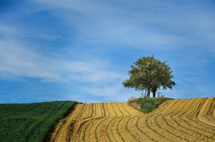 farmland and cornfield with tree on the horizonの写真素材 [FYI00761449]