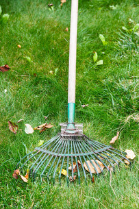 cleaning of fallen leaves from lawn by rakeの写真素材 [FYI00761610]