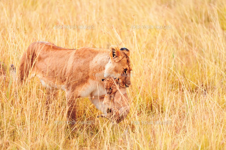 Female lion with cubs in Masai Mara,Female lion with cubs in Masai Mara,Female lion with cubs in Masai Mara,Female lion with cubs in Masai Maraの写真素材 [FYI00764215]