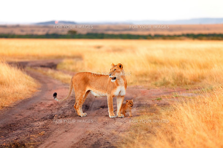 Female lion with cubs in Masai Mara,Female lion with cubs in Masai Mara,Female lion with cubs in Masai Mara,Female lion with cubs in Masai Maraの写真素材 [FYI00764218]