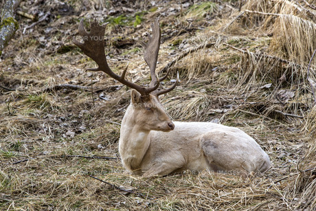 Albino buck deer in the forestの写真素材 [FYI00764790]