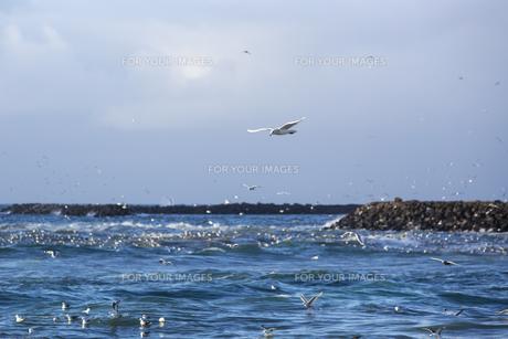 Gulls hunting for fishの素材 [FYI00764791]