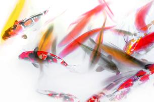 Koi Fish Abstractの写真素材 [FYI00764930]