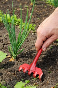 weeding - pull up weeds 11の写真素材 [FYI00765312]