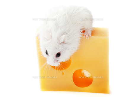 White mouse and cheese,White mouse and cheese,White mouse and cheese,White mouse and cheese,White mouse and cheese,White mouse and cheese,White mouse and cheese,White mouse and cheese,White mouse and cheese,White mouse and cheese,White mouse and cheese,Whの素材 [FYI00765731]