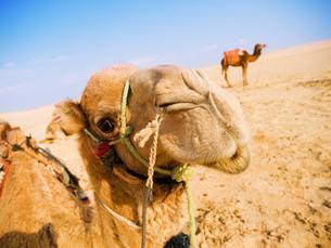 Camel in the desert,Camel in the desert,Camel in the desert,Camel in the desert,Camel in the desert,Camel in the desert,Camel in the desert,Camel in the desert,Camel in the desert,Camel in the desert,Camel in the desert,Camel in the desert,Camel in the deの素材 [FYI00765802]