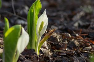 ひっそりと咲く水芭蕉の写真素材 [FYI00766185]