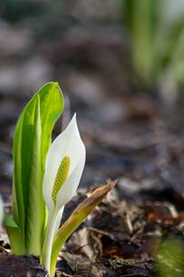 ひっそりと咲く水芭蕉の写真素材 [FYI00766186]