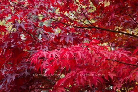 秋のモミジの写真素材 [FYI00766349]
