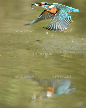 カワセミの捕食の写真素材 [FYI00766370]