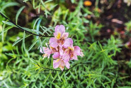 雨に濡れるアストロメリアの花の写真素材 [FYI00766471]