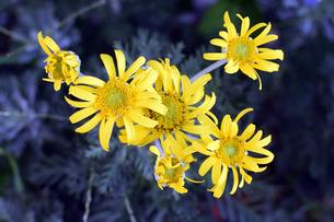 菊の花の写真素材 [FYI00766500]