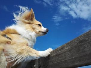 強風にあおられながら景色を見るチワワの写真素材 [FYI00767087]