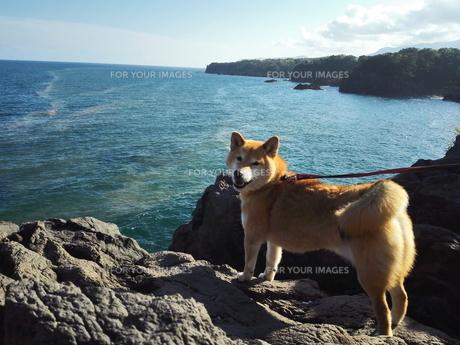 赤潮と柴犬の写真素材 [FYI00767088]