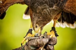 Eating raptor bildの写真素材 [FYI00767310]