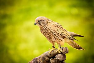 sitting hawkの写真素材 [FYI00767311]