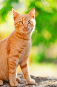 Domestic cat outdoors,Domestic cat outdoors,Domestic cat outdoors,Domestic cat outdoors,Domestic cat outdoors,Domestic cat outdoors,Domestic cat outdoors,Domestic cat outdoorsの写真素材 [FYI00767403]