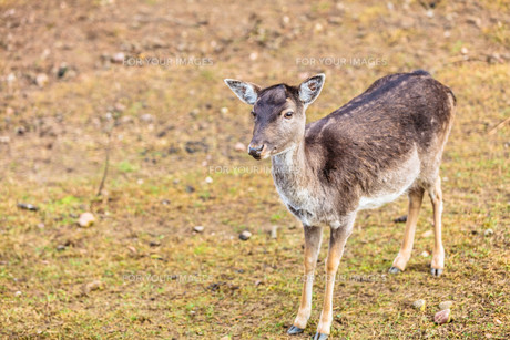 young deer on meadowの写真素材 [FYI00768811]