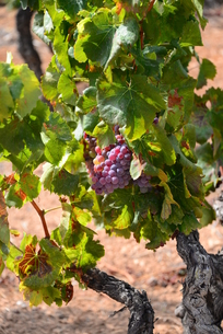 vineyard in spainの写真素材 [FYI00769858]