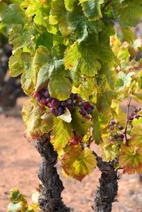 vineyard in spainの写真素材 [FYI00769862]