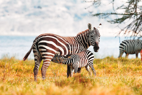 Zebra and Foal,Zebra and Foal,Zebra and Foal,Zebra and Foal,Zebra and Foal,Zebra and Foal,Zebra and Foal,Zebra and Foalの素材 [FYI00770316]