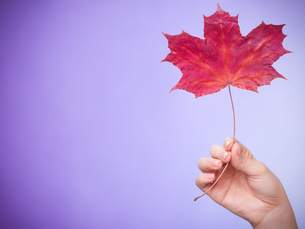skincare. hand with a maple leaf as a symbol of red dry skin capillary.の写真素材 [FYI00770450]