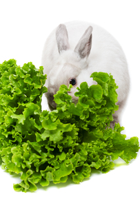 White rabbit eating green saladの写真素材 [FYI00770706]